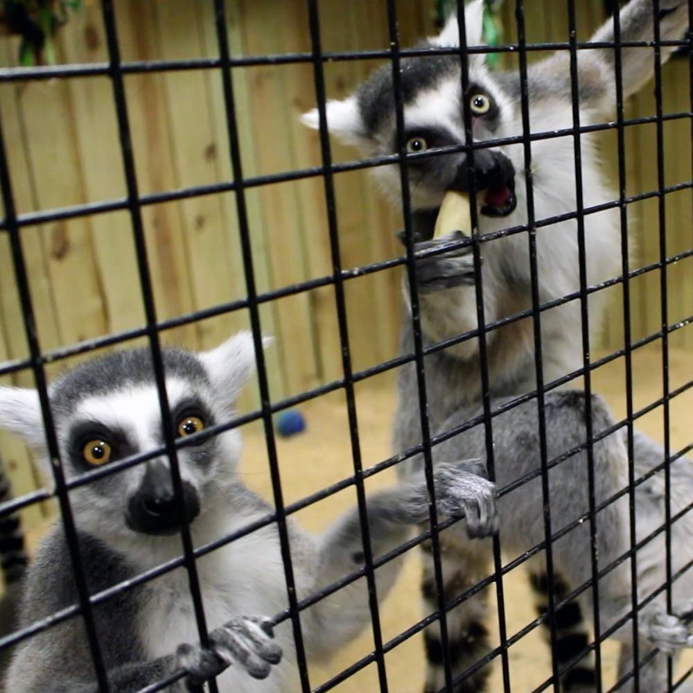 Lemur-Feedings
